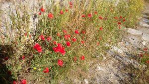 27. Piękne czerwone maki na schodach wiodących do baszty na planie zamku oznaczonej nr 8.